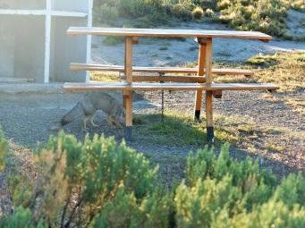 Le renard vient juste sous notre table